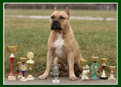 Стафтерьер фото собак 5