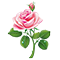 Свежая роза