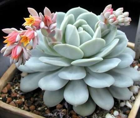 цветок денежное дерево фото: